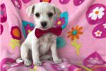 Picture of Marina Fox Terrier/Maltese Mix