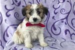 Picture of Joy the Fox Terrier/Maltese Mix