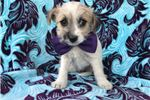 Picture of Sarah Fox Terrier/Maltese Mix