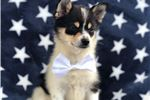 Picture of Floyd the Pom Shi