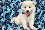 Picture of Rosie the AKC Samoyed