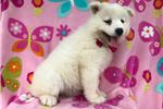 Picture of Leah the AKC Samoyed