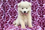 Picture of Candy the AKC Samoyed