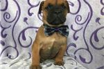 South African Boerboel for sale