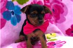 Picture of Margie the Toy Yorkiepoo