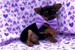 Picture of Isabella the Toy Yorkiepoo