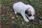 Picture of Male 3 Great Pyrenees Puppy