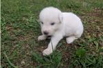Picture of Male 4 Great Pyrenees Puppy