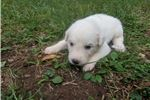 Picture of Female 6 Great Pyrenees Puppy