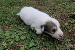 Picture of Male 2 Great Pyrenees Puppy