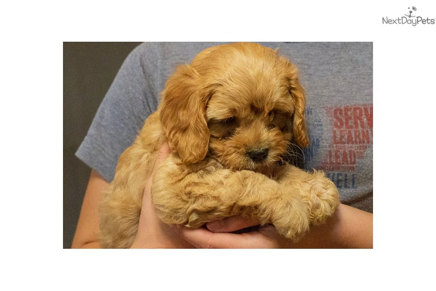 Opie: Cavapoo puppy for sale near Cookeville, Tennessee