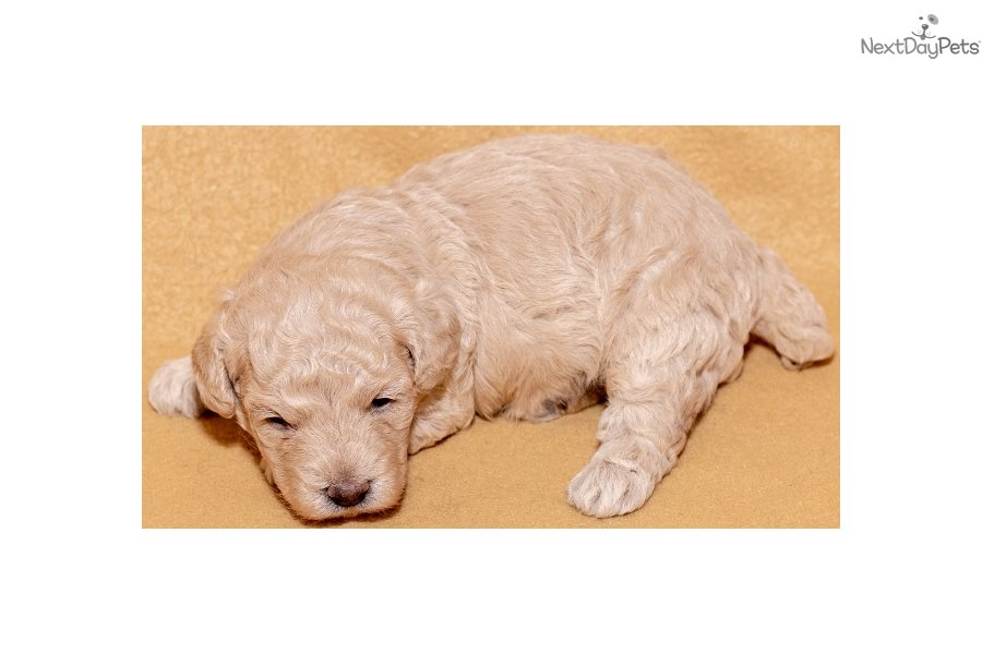 Omar Poodle Miniature Puppy For Sale Near Cookeville
