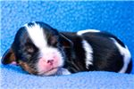 Picture of AKC Cavalier King Charles female - Baylee