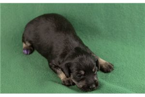 Yani | Puppy at 2 weeks of age for sale