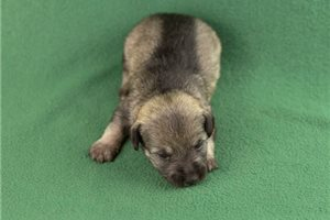 Yasha | Puppy at 2 weeks of age for sale