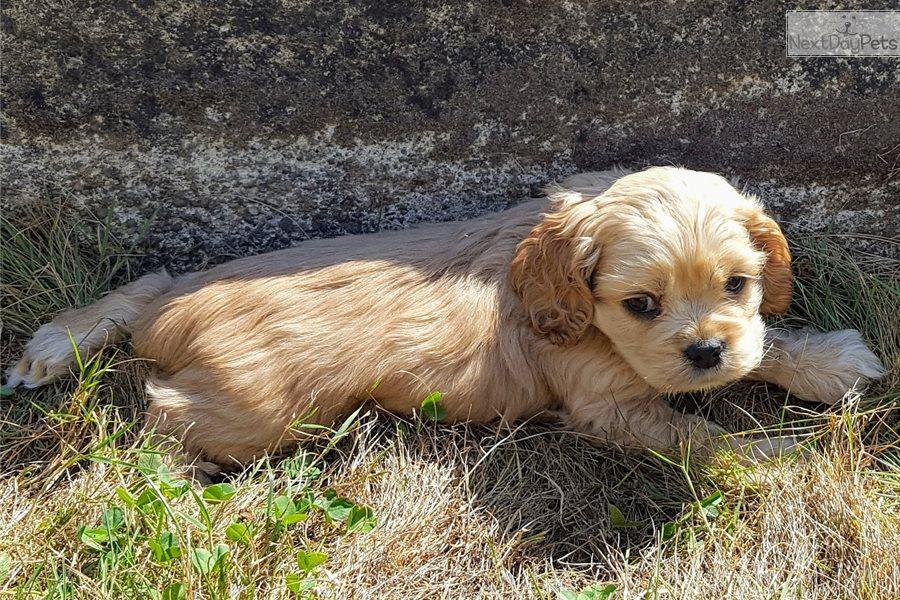 Little Boy Blue Cocker Spaniel Puppy For Sale Near Roseburg Oregon