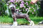 Picture of Chinese crested HL MALE