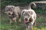 Picture of UKC PR AMERICAN BULLY POCKET PUPS