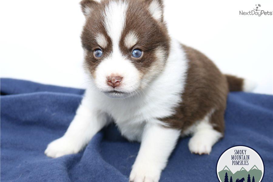 Sam: Pomsky puppy for sale near Nashville, Tennessee