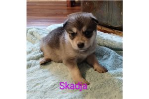 Skadja | Puppy at 10 weeks of age for sale