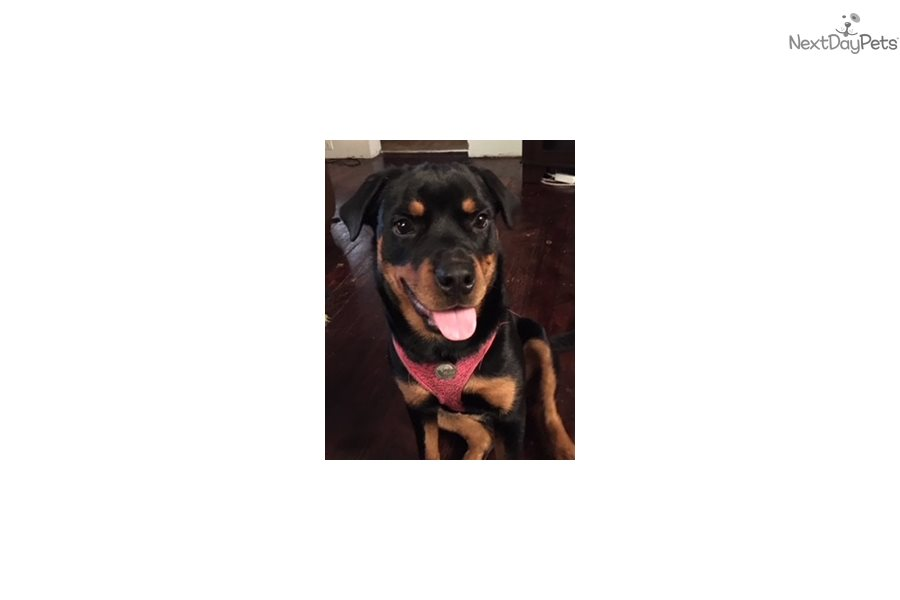 Rottweiler Puppy For Sale Near New Haven Connecticut A0e83d14 4f51