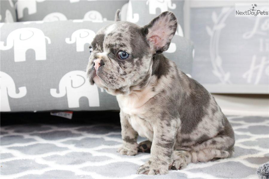 French Bulldog puppy for sale near In Russia