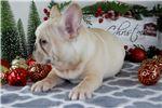 Picture of french bulldog - cream