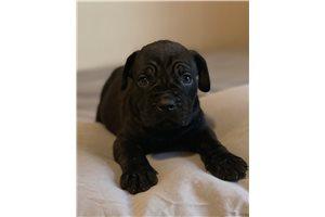 Bruiser - Cane Corso Mastiff for sale