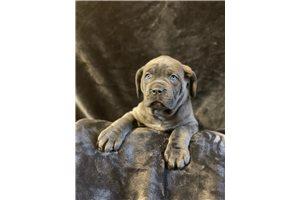 Sasha - Cane Corso Mastiff for sale