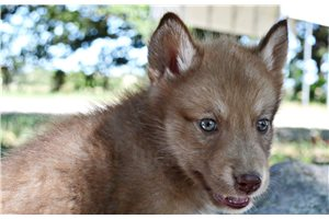 Wolf Hybrid Puppies For Sale From Texas Breeders