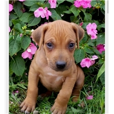 View full profile for Upstate Rhodesian Ridgebacks