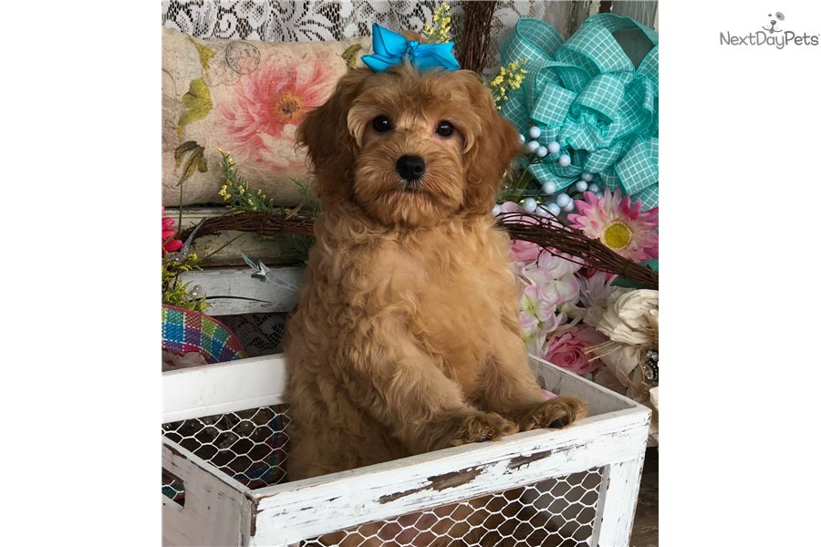 Cavapoo puppy for sale near Knoxville, Tennessee