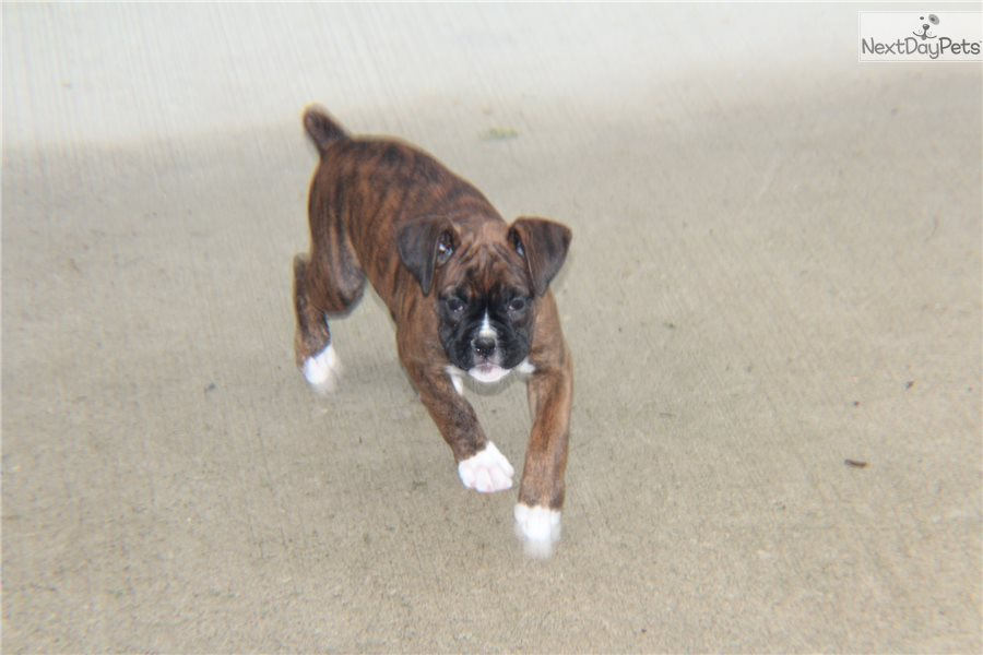 Boxer Dog For Sale In Ohio