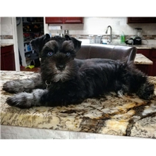 View full profile for Why Not Schnauzers