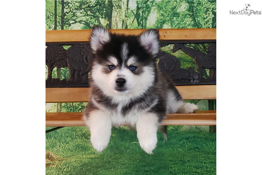 Pomsky puppy for sale near Spokane / Coeur D'alene ...