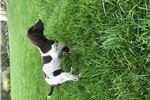 Picture of AKC German Shorthair pup