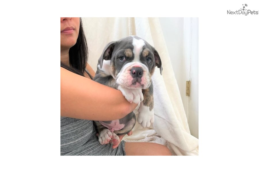 Olde English Bulldogge Puppy For Sale Near Los Angeles