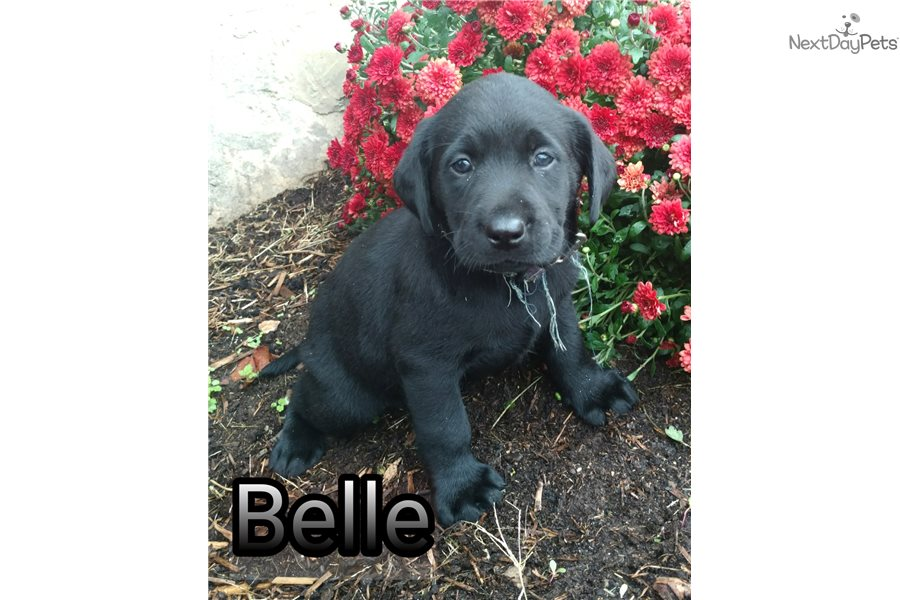 Belle Labrador Retriever Puppy For Sale Near Syracuse New York