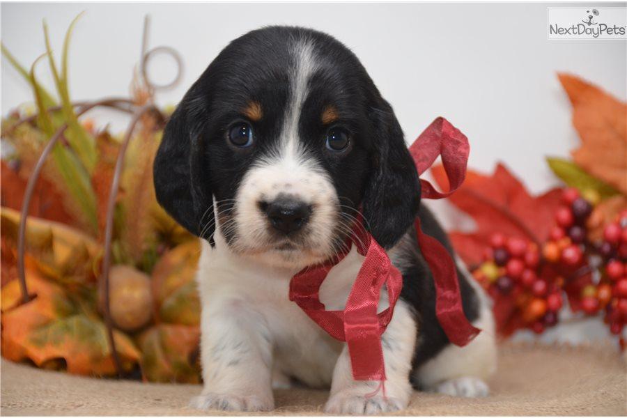 English Springer Spaniel Show Dog Breeders