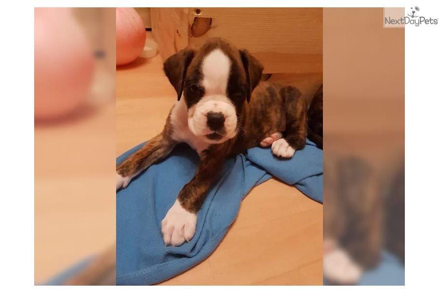 Mannie Boxer Puppy For Sale Near Milwaukee Wisconsin 00ef2710 1241