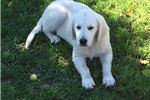 Picture of English Golden Retreiver Male puppies