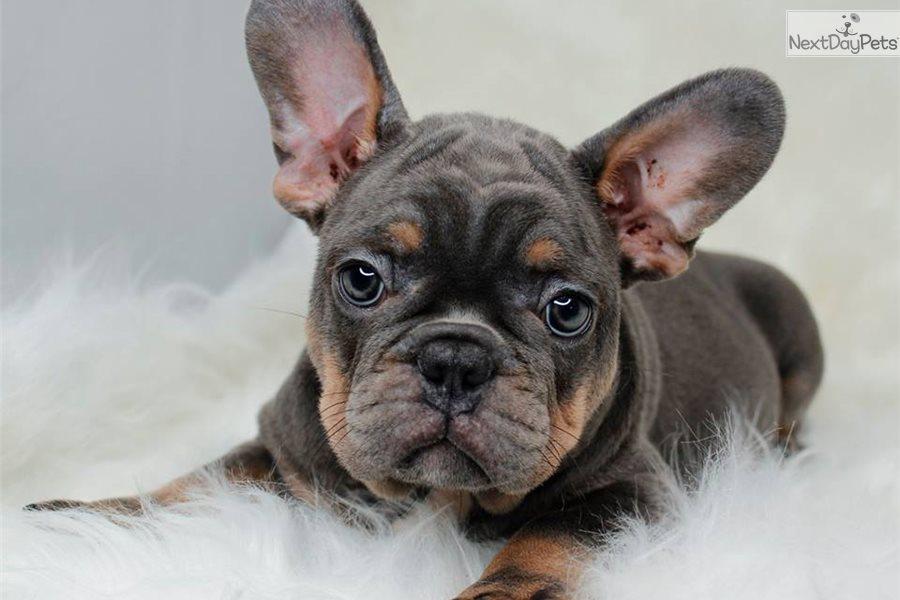 Nastu French Bulldog Puppy For Sale Near Orlando Florida