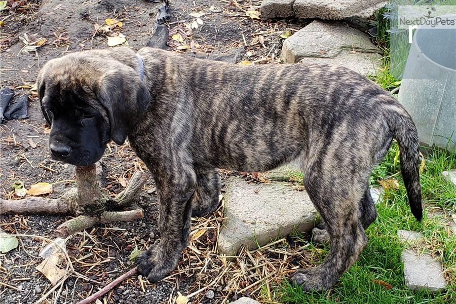Rusty: Mastiff puppy for sale near Bellingham, Washington