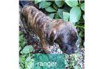Picture of English Mastff Ranger