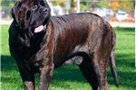 Picture of English Mastiff Brindle