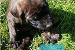 Picture of English Mastiff Ginger