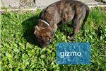 Picture of English Mastiff Gizmo