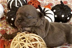 Paris Blue | Puppy at 2 weeks of age for sale