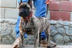 Picture of Female Presa Canario - TOP quality 3 months