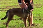 Picture of AKC Registered Female